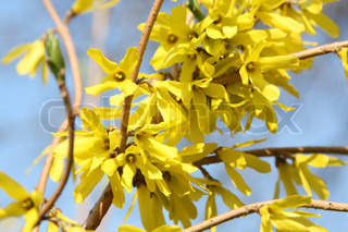 Yellow spring flowers forsythia background of flowers and sky yellow spring flowers forsythia branch on the background of sky mightylinksfo