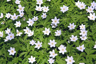 big patch of wood anemone Wild spring flowers