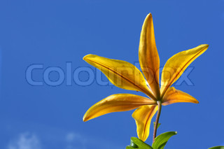Yellow lily against the background of blue sky