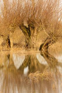 Reflections of Piletræer i Winter