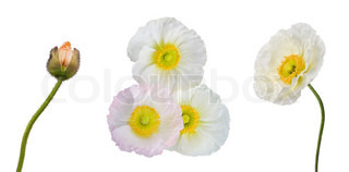Set of white, pink and orange poppies isolated on white background