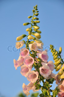 Spike Of Foxglove Blomster