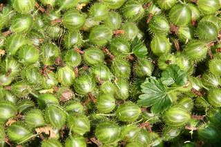 Close up of freshly picked gooseberries with leaves