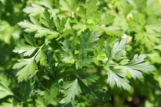 Close-up of parsley in a herb garden