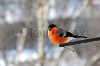 Singing bullfinch. Winter day