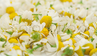 background flowers of the medical chamomile