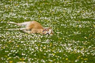 A sweet young horse foal resting on flower field