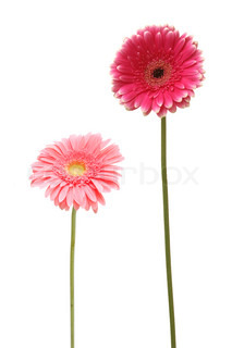 two gebera african daisy isolated on white