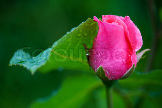 One small pink rose bud with water drops on green background