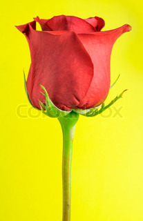 Beautiful Red Rose on Yellow Background