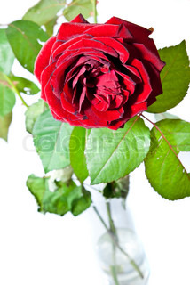 single rose with leaves in a vase