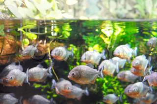 Piranha fish in the water