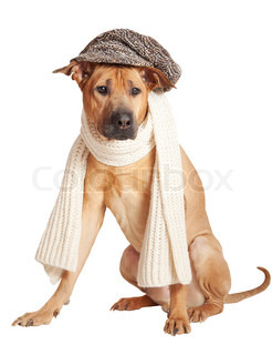 Dog in his cap and scarf, portrait over white background