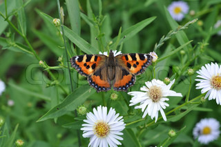 butterfly eats nectar of garden camomiles July, the Central Russia