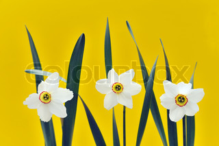 Daffodils over yellow background