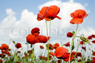 Red poppies amongst green plant