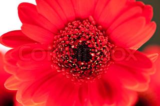 tæt op visning af den røde blomst daisy
