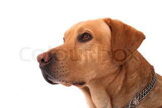 labrador on the white background