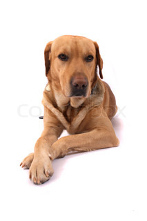 very nice labrador on the white background