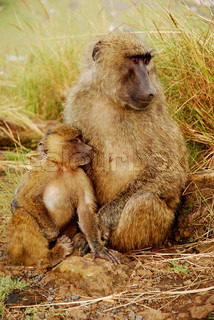 Mother and Child Baboon Sitting in the Sun