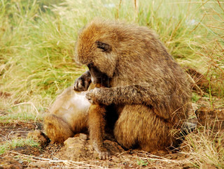 Mother Baboon Nit-Picking her Young