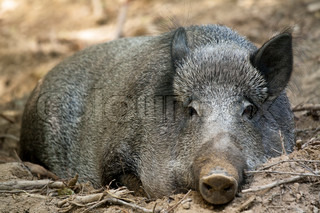 Picture of a female wild boar