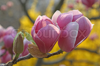 Pink magnolia blossoms in the park
