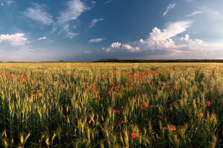 Field of wheat with poppies and the beautiful sky