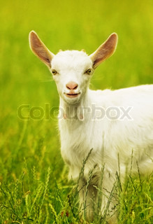 Cute goat portrait, young animal outdoor, grazing on the field, rural farming, livestock breeding