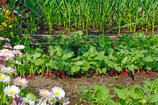 Garden bed with red radish, garlic and flowers