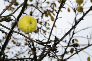 Ripe apple on a tree without leaves