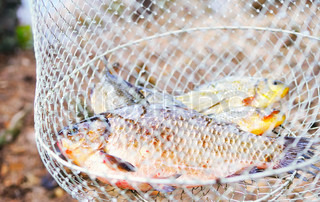 Fresh catched freshwater fish in the net