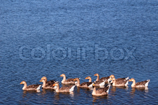 Grey geese swimming in a lake