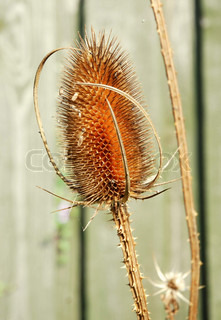 Dried up, Prickly Thistle