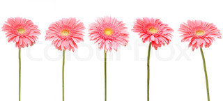 five gebera african daisy isolated on white