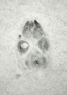 Big Dog Print in the Snow