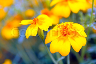Gul Marigold Tagetes Flower on Flower Bed