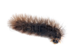 Caterpillars  isolated  on a  white background