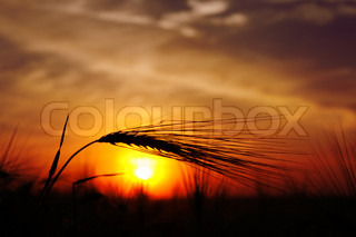 ears of ripe wheat on a background sun in the evening