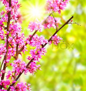 frische rosa blühende Blumen auf dem Baum, Frühling Leben in der Natur