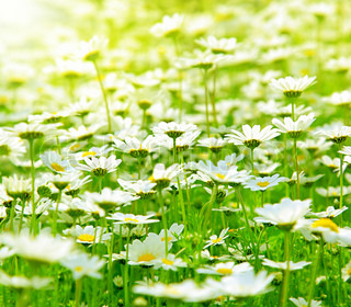 Spring meadow of white fresh daisy flowers with bright sun light, natural landscape