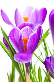 close up of beautiful spring crocus flowers over white background