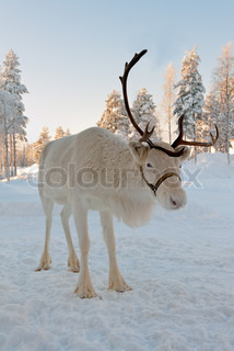 White Christmas deer in the background of snow-covered forest