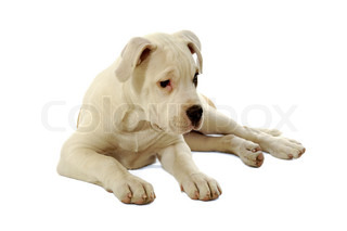 Sad puppy is resting on a white background