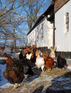 Farm House with outdoor Chickens
