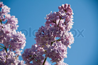 Wonderful lilac flowers on a sunny summer day.