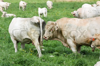 White cow and bull grazing on a green field, Czech Republic