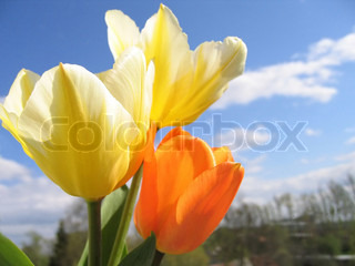 Spring flower - bouquet of yellow and orange tulips on the background of sky