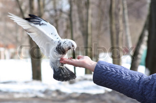 Dove feeding and balancing on woman's hand