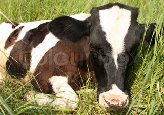 Cute baby cow in a meadow, lying in the grass